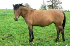 huculský kůň - autor: Skoupá Lenka