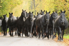 starokladrubský kůň - autor: Šárka Veinhauerová