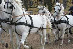 starokladrubský kůň - autor: Jan Kalíšek