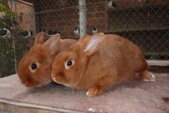 český červený králík - autor: Pikousová Jitka