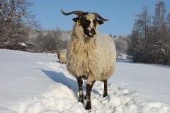 Valašská ovce - autor: Milerski Michal