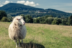 Šumavská ovce - autor: Milerski Michal