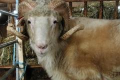 Šumavská ovce - autor: Pikousová Jitka