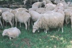 Šumavská ovce - archív VUZV